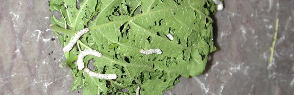 Proceso de rescate del Sarape de Saltillo - Gusanos de seda para el hilo