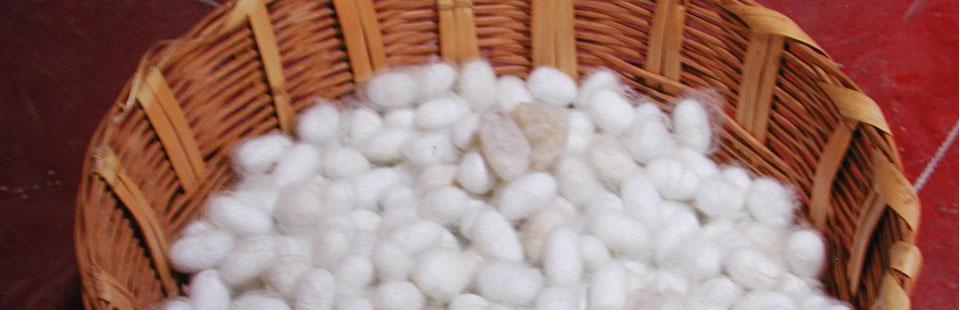 Proceso de rescate del Sarape de Saltillo - Capullos de seda para deshilar